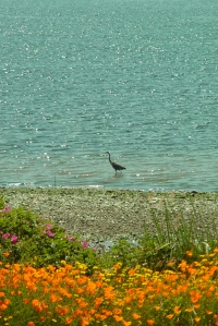 great blue heron on my beach